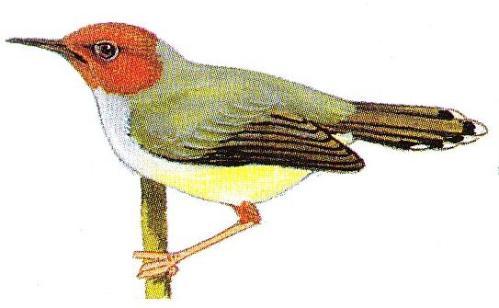 Suara Burung Prenjak Betina Cocok Untuk Masteran Murai Dan Cucak Ijo Si Momot