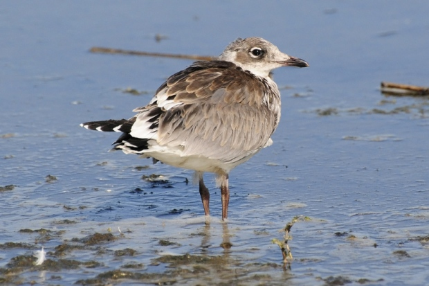 Gambar burung, jenis burung, foto burung, kicau, burung kicauan, download gambar, download suara burung 4