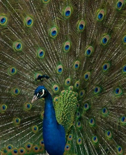 Gambar burung, jenis burung, foto burung, kicau, burung kicauan, download gambar, download suara burung 5