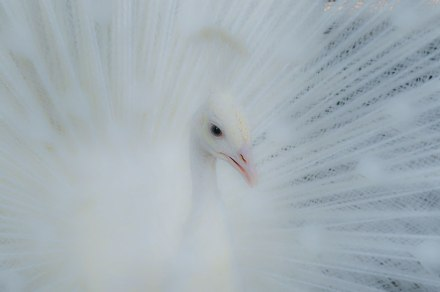 Gambar burung, jenis burung, foto burung, kicau, burung kicauan, download gambar, download suara burung 6