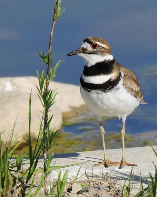 Gambar burung, jenis burung, foto burung, kicau, burung kicauan, download gambar, download suara burung 3