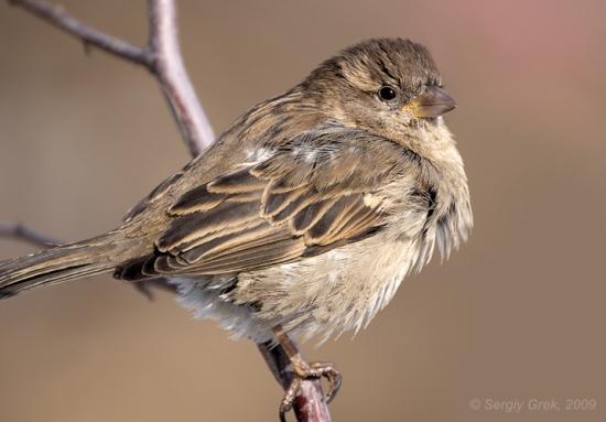 Gambar burung, jenis burung, foto burung, kicau, burung kicauan, download gambar, download suara burung 7