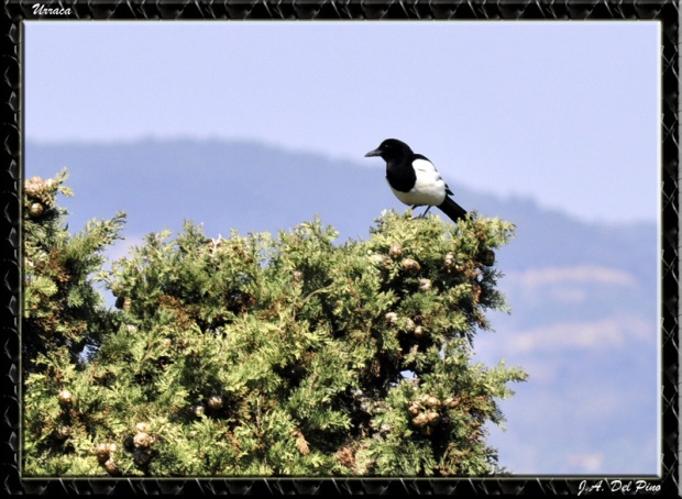 Gambar burung, jenis burung, foto burung, kicau, burung kicauan, download gambar, download suara burung 8
