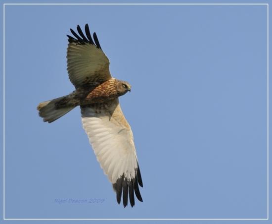 Gambar burung, jenis burung, foto burung, kicau, burung kicauan, download gambar, download suara burung 9