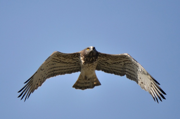 Gambar burung, jenis burung, foto burung, kicau, burung kicauan, download gambar, download suara burung 10