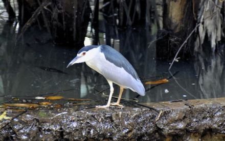 Gambar burung, download gambar burung, foto burung, burung kicauan, kicau (1)