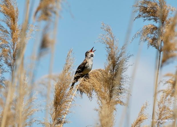 Gambar burung, download gambar burung, foto burung, burung kicauan, kicau (10)