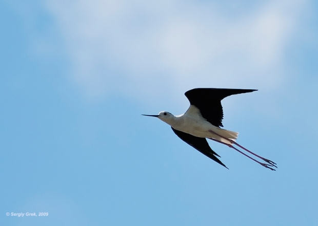 Gambar burung, download gambar burung, foto burung, burung kicauan, kicau (11)