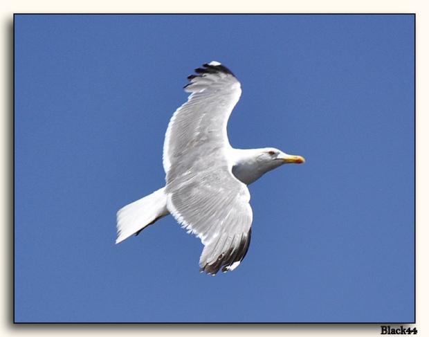 Gambar burung, download gambar burung, foto burung, burung kicauan, kicau (12)