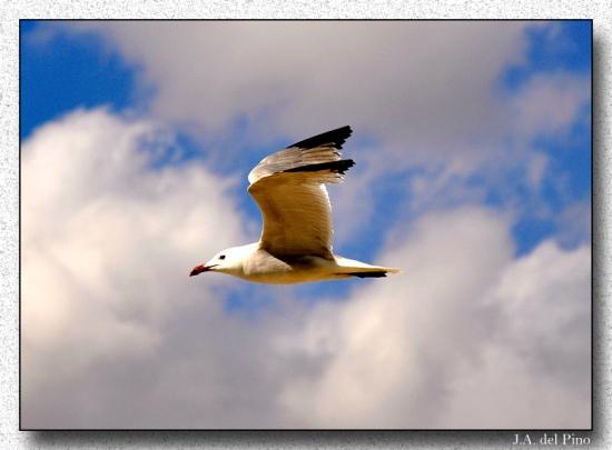 Gambar burung, download gambar burung, foto burung, burung kicauan, kicau (13)