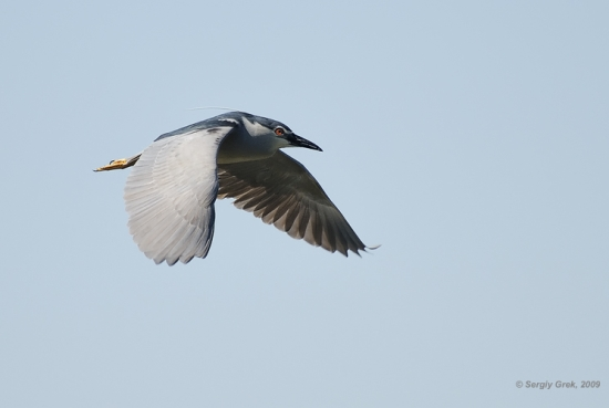 Gambar burung, download gambar burung, foto burung, burung kicauan, kicau (14)