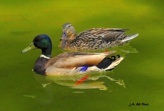 Gambar burung, download gambar burung, foto burung, burung kicauan, kicau (2)