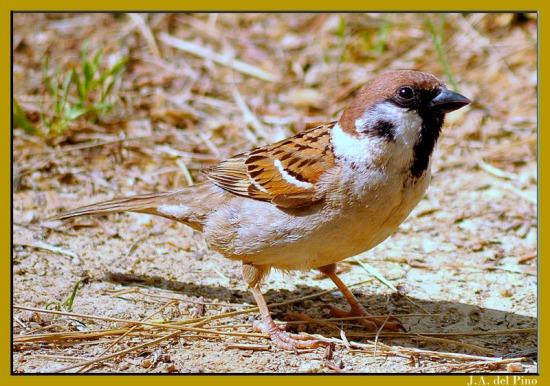 Gambar burung, download gambar burung, foto burung, burung kicauan, kicau (5)