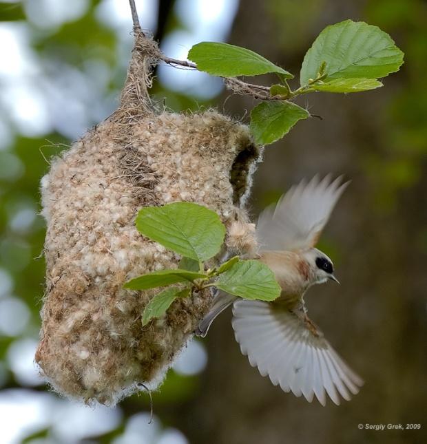 Gambar burung, download gambar burung, foto burung, burung kicauan, kicau (6)