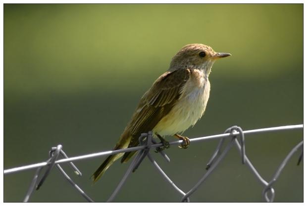 Gambar burung, download gambar burung, foto burung, burung kicauan, kicau (7)