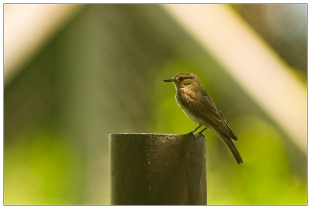 Gambar burung, download gambar burung, foto burung, burung kicauan, kicau (8)