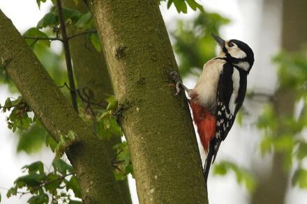 Gambar burung, download gambar burung, foto burung, burung kicauan, kicau (9)