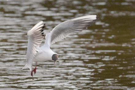 Gambar burung, download gambar burung, foto burung, burung kicauan, kicau