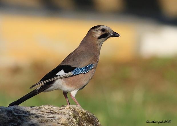 Gambar burung, jenis burung, foto burung, kicau, burung kicauan, download gambar, download suara burung (1)