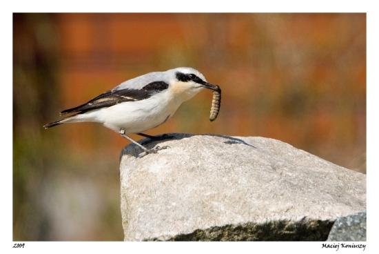 Gambar burung, jenis burung, foto burung, kicau, burung kicauan, download gambar, download suara burung (2)