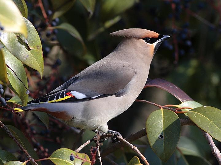 Gambar burung, jenis burung, foto burung, kicau, burung kicauan, download gambar, download suara burung(2)