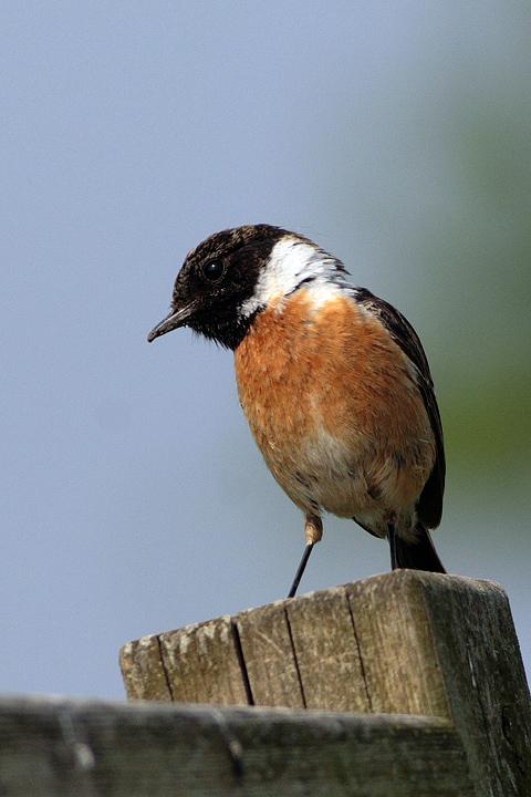 Gambar burung, jenis burung, foto burung, kicau, burung kicauan, download gambar, download suara burung (3)