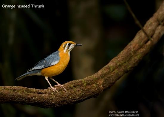 Gambar burung, jenis burung, foto burung, kicau, burung kicauan, download gambar, download suara burung (4)