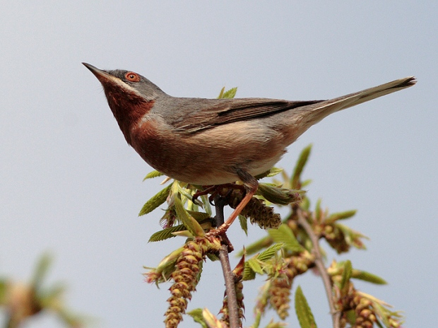 Gambar burung, jenis burung, foto burung, kicau, burung kicauan, download gambar, download suara burung (5)