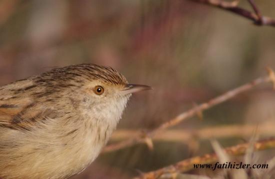 Gambar burung, jenis burung, foto burung, kicau, burung kicauan, download gambar, download suara burung (6)