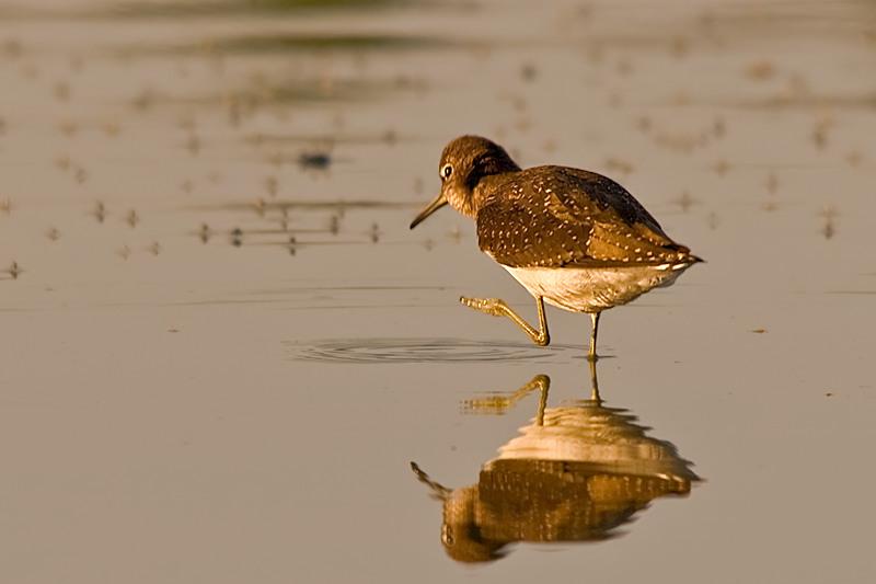 Gambar burung, jenis burung, foto burung, kicau, burung kicauan, download gambar, download suara burung(6)