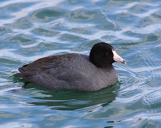 Gambar burung, jenis burung, foto burung, kicau, burung kicauan, download gambar, download suara burung (7)