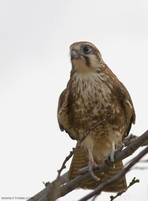 Gambar burung, jenis burung, foto burung, kicau, burung kicauan, download gambar, download suara burung (9)