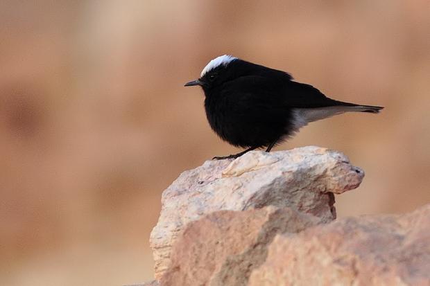 Gambar burung, jenis burung, foto burung, kicau, burung kicauan, download gambar, download suara burung11
