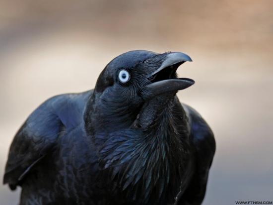 Gambar burung, jenis burung, foto burung, kicau, burung kicauan, download gambar, download suara burung