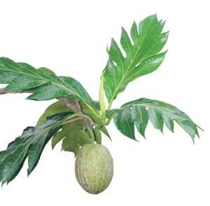 Daun dan buah sukun untuk obat penyakit jantung