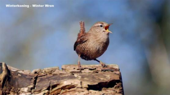 winterkoning-winter-wren
