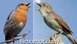 Kompilasi suara burung nightingale dan robin durasi 20menit