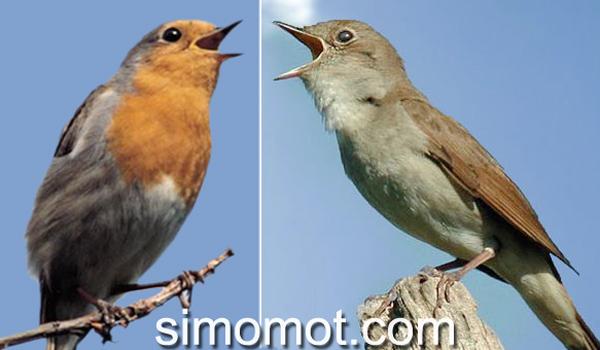 kompilasi suara burung nightingale dan robin