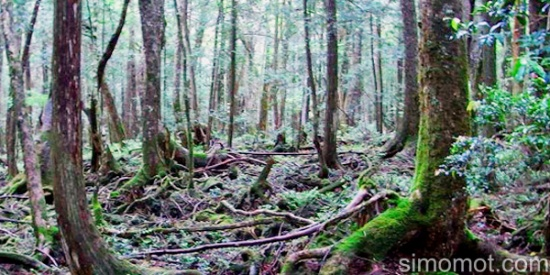 Hutan Aokigahara, Tempat Bunuh Diri Paling Angker Di Jepang ~ Nyinyuk Berbagi