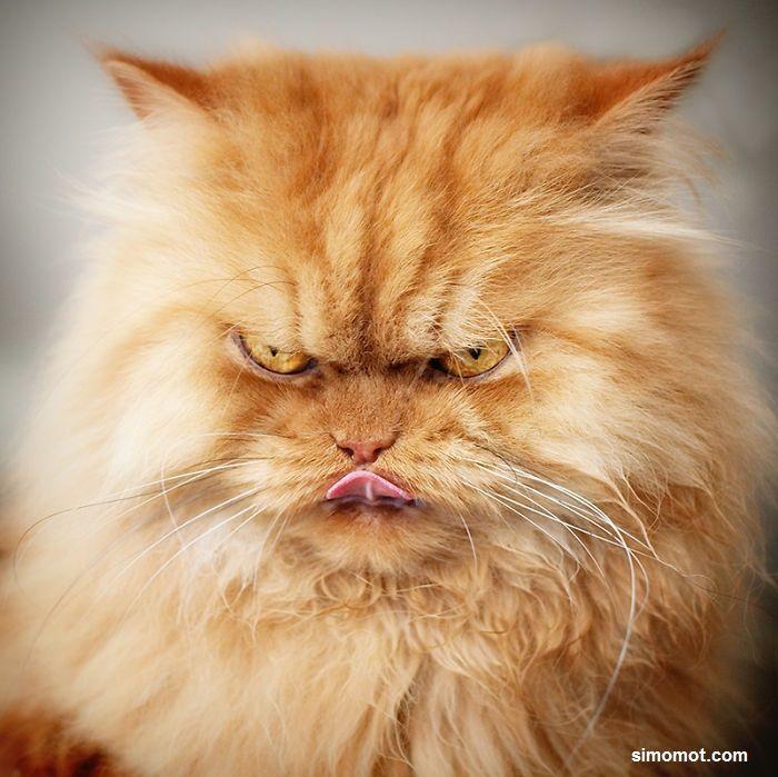 kucing preman