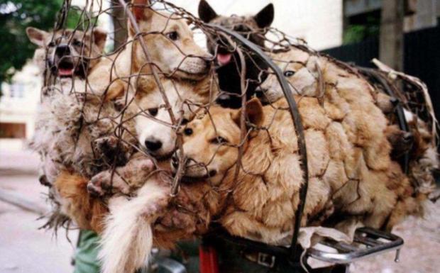 Berjejalan di dalam kerangkeng, anjing-anjing ini siap untuk dibunuh, dagingnya dijadikan santapan dalam Festival Yulin. (Kim Kyung-Hoon/Reuters)