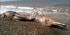 Inilah sisa-sisa bangkai seekor hewan laut misterius yang terdampar di pesisir Pulau Sakhalin, Rusia. Hewan ini memiliki paruh dan bulu, yang membingungkan para pakar biologi kelautan. (Siberian Times )